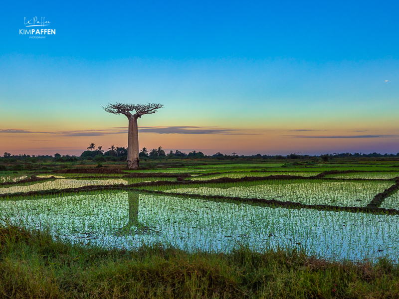 Take better travel photos by searching for reflection, lines, patterns and using the Rule of Thirds, like this Baobab Reflection in the rice fields of Morondava in Madagascar