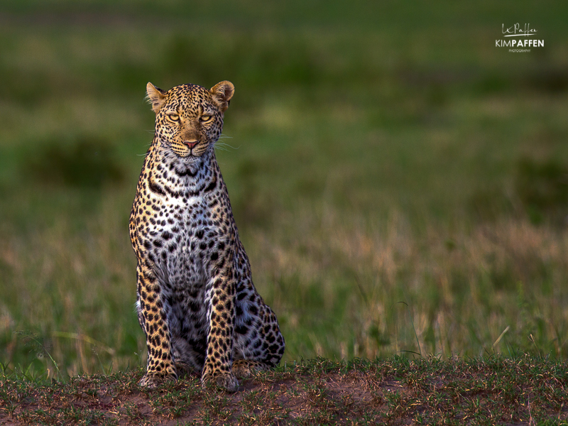 Kenya Travel: Leopard on Safari Trip in Masai Mara