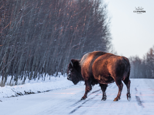 Photographing Bizons in Elk National Park Canada