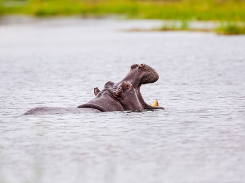 Botswana Travel: Hippo Wildlife Photography