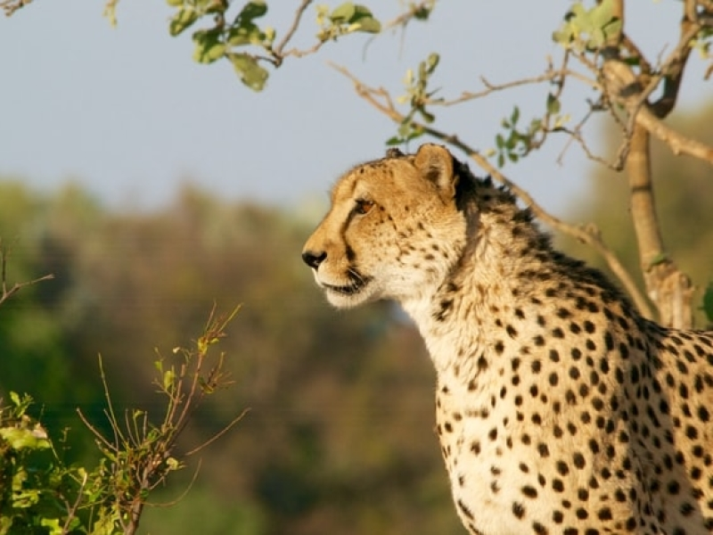 Botswana Wildlife Photography: Cheetah
