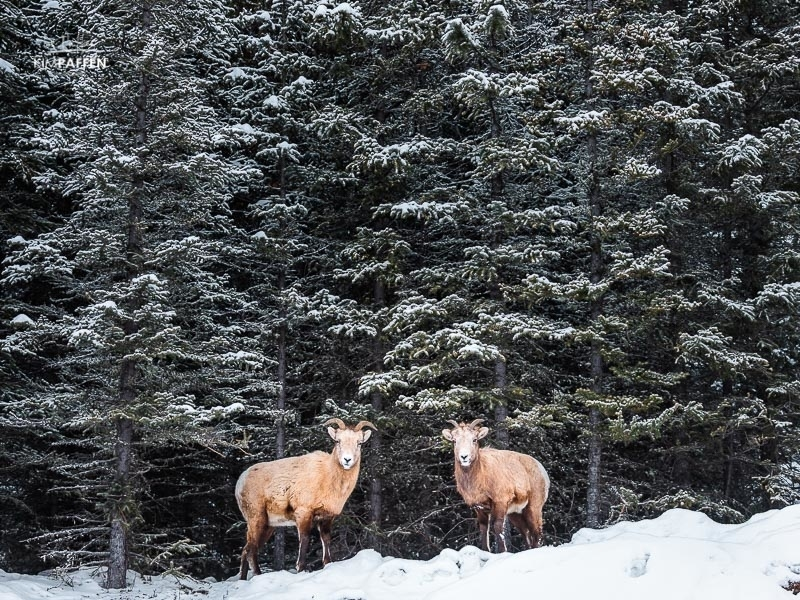 Wildlife Photography Jasper National Park Canada