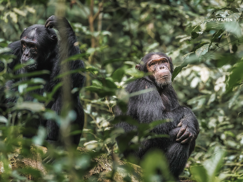 Chimp Tracking Uganda