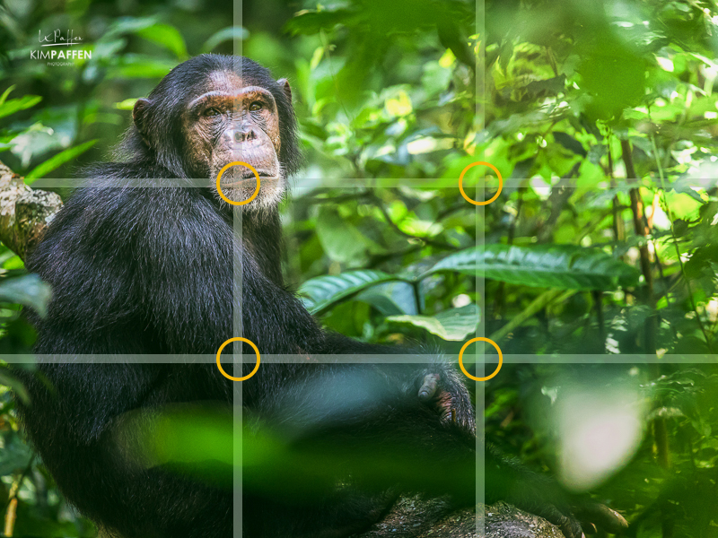 Rule of Thirds in photography composition applied on this chimpanzee photo in Uganda