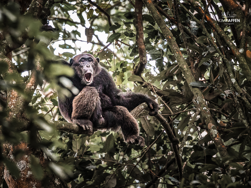 Chimpanzee Photography Uganda