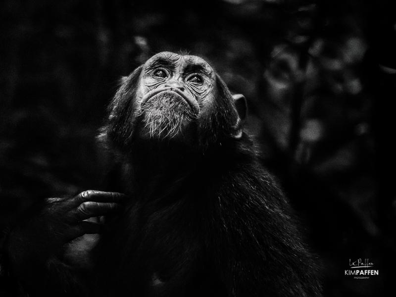 Chimpanzee Tracking Africa