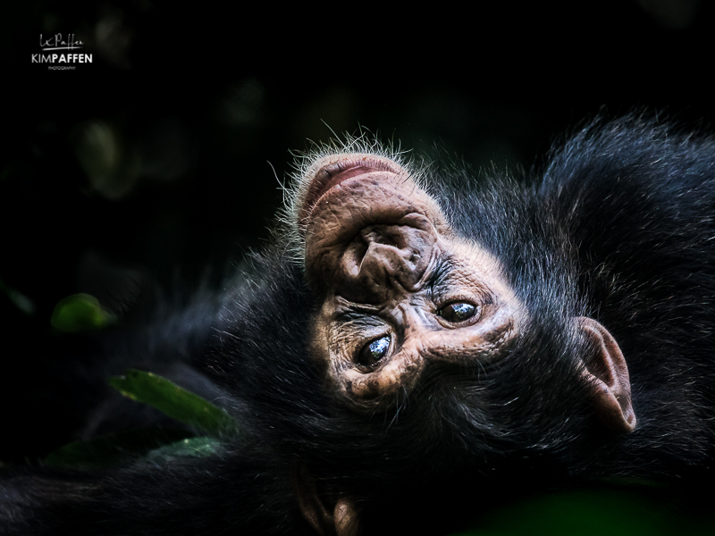 Chimpanzee trekking in Uganda Kibale Forest