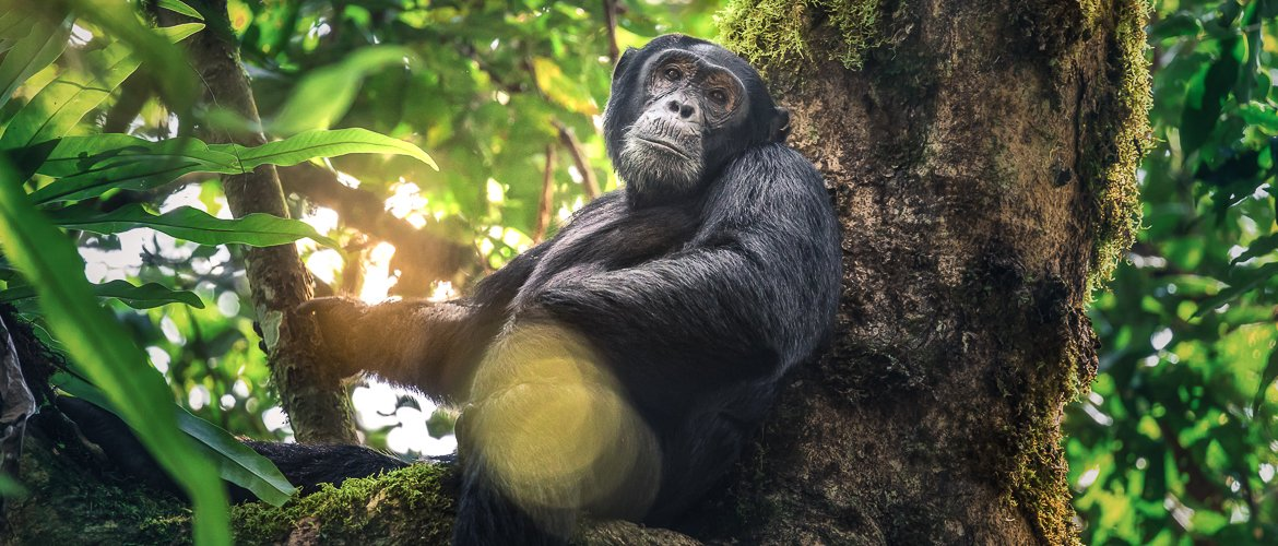 Chimpanzee trekking and habituation experience in Uganda: 21 things you need to know