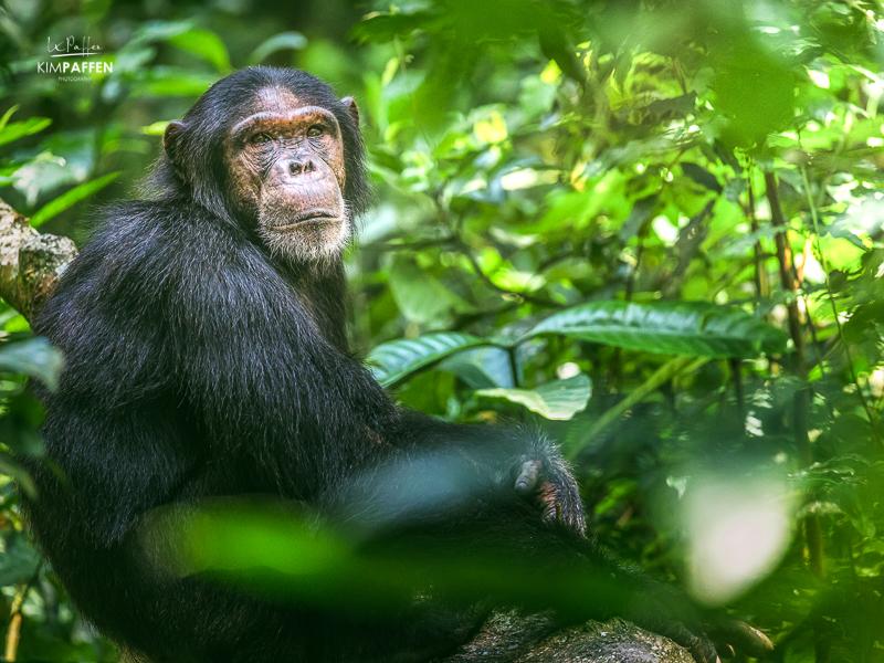 Chimpanzee Trekking and Habituation in Kibale Forest Uganda