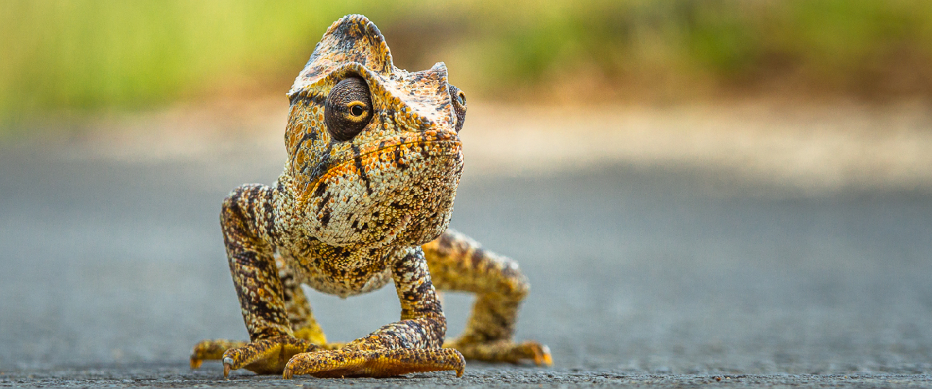 Publication in National Geographic Magazine: Crossing Chameleon