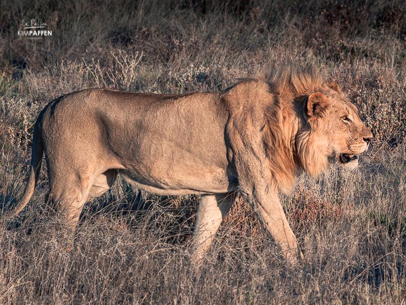 Lion in Etosha National Park Namibia