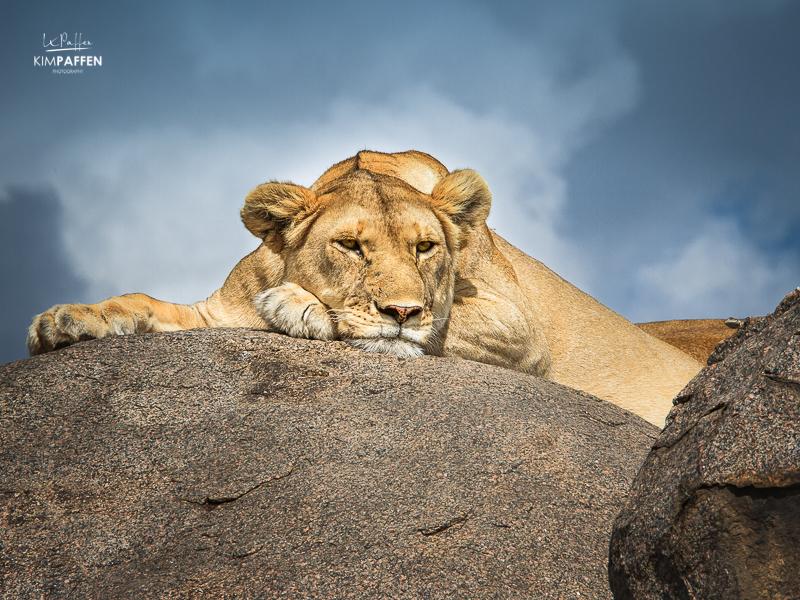 Tanzania Travel: Lion Serengeti National Park