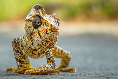 Malagasy Giant Chameleon crossing the street in Diego-Suarez, North Madagascar