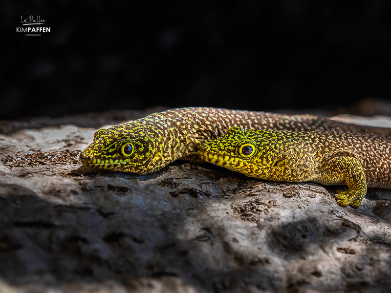 Madagascar Wildlife Photography: Standings Day Geckos in Zombitse