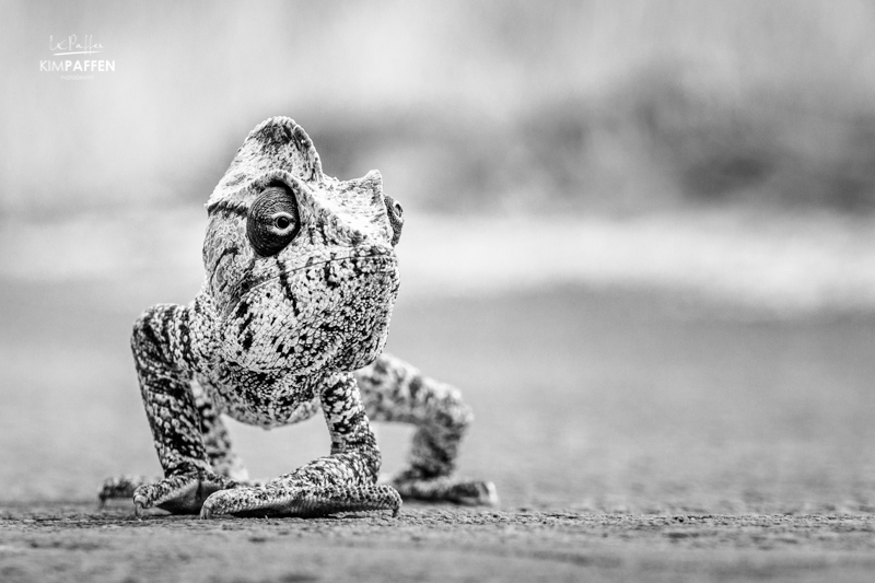 Malagasy Giant Chameleon in Black and White by Kim Paffen