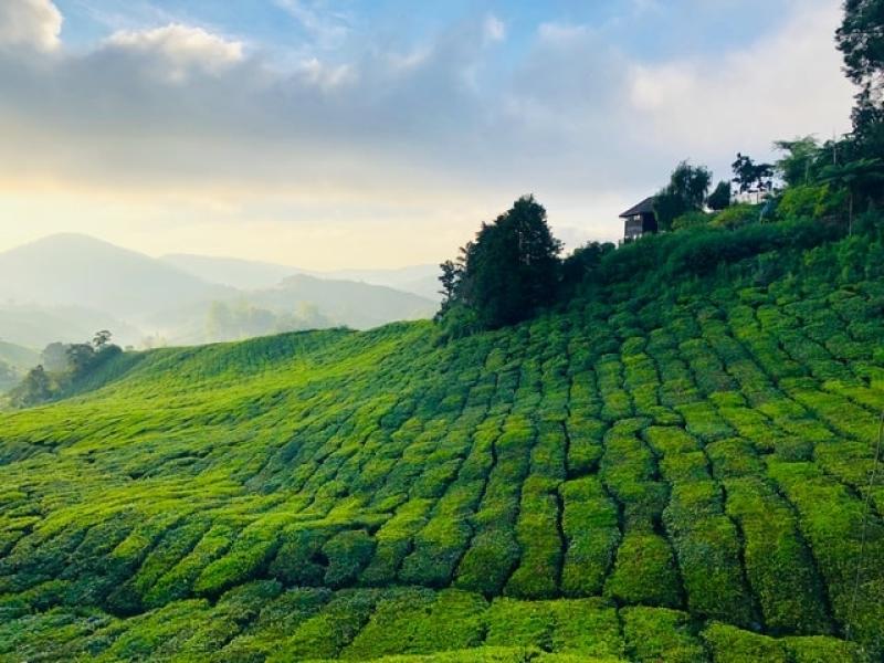 Malaysia Travel: Cameron Highlands Tea Plantations