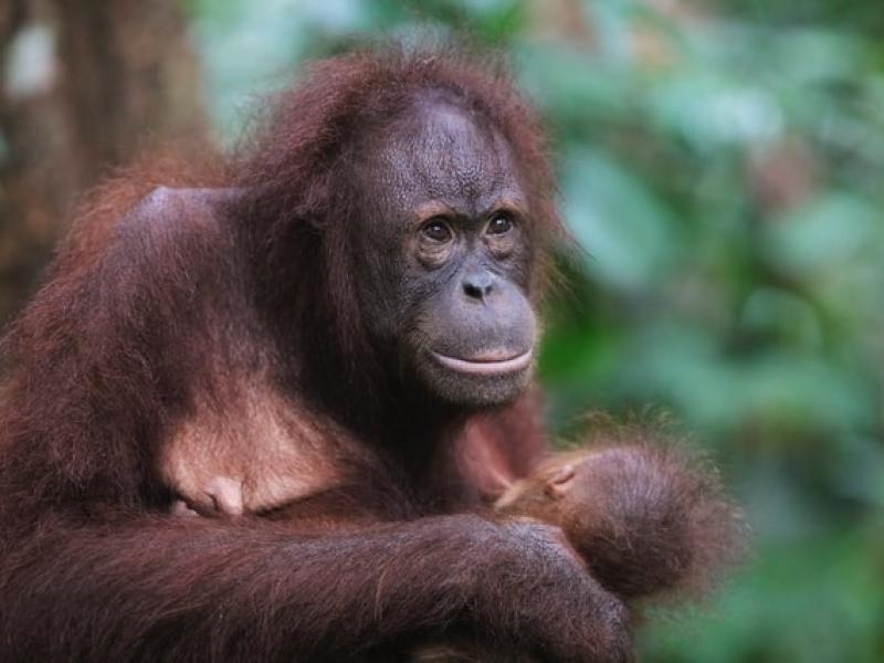 Malaysia Travel: Sabah Orangutan