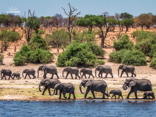 Travel Botswana: Elephant herds Chobe National Park