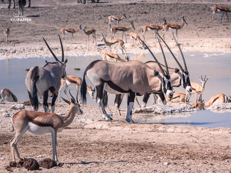 Oryx in Etosha National Park Namibia