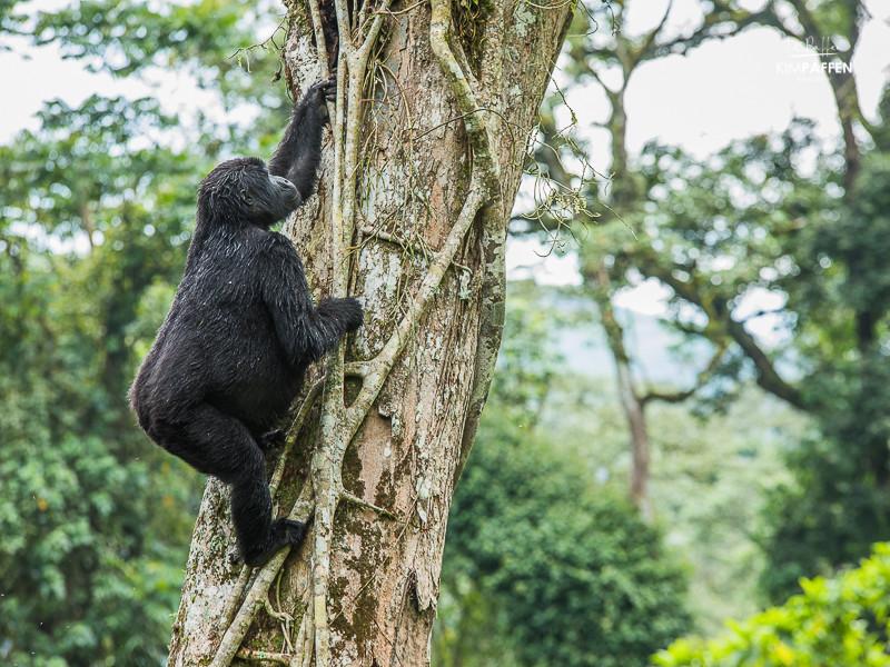 Tree Climbing Gorilla Bwindi National Park Uganda