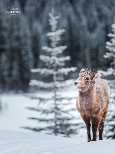 Photographing Wildlife in Alberta Canada