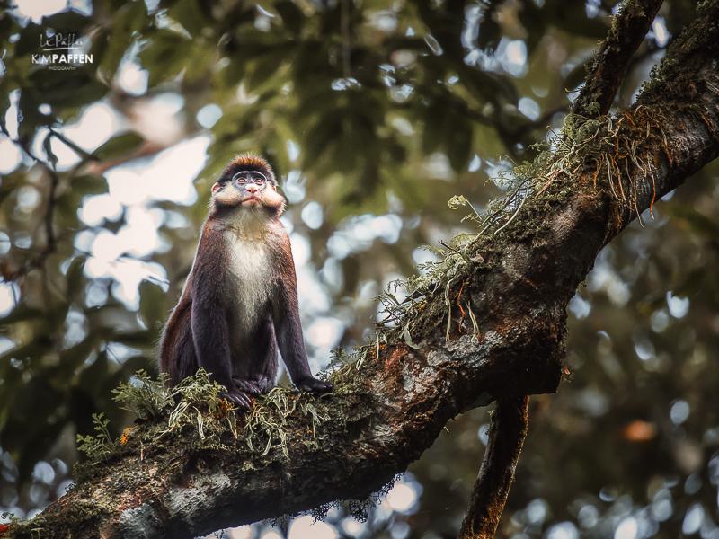 Red-Tailed Monkey Kibale Forest Uganda