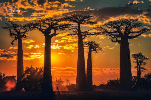 Magical sunset at Avenue of the Baobabs in Morondava, Madagascar