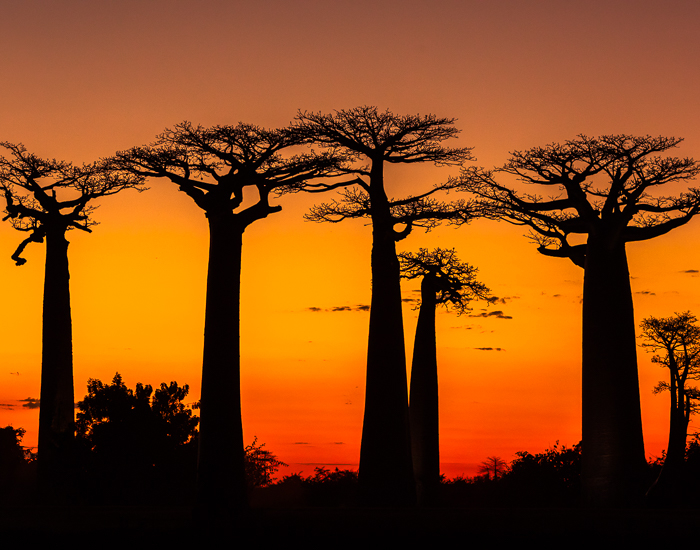 Travel Destination Madagascar: Avenue of Baobabs at sunset