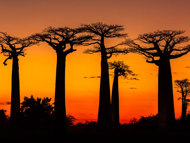 Travel Destination Madagascar: Avenue of Baobabs at sunset