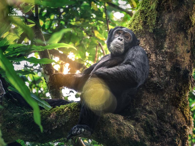 Chimpanzee Trekking Kibale Forest National Park Uganda: Chimp in tree