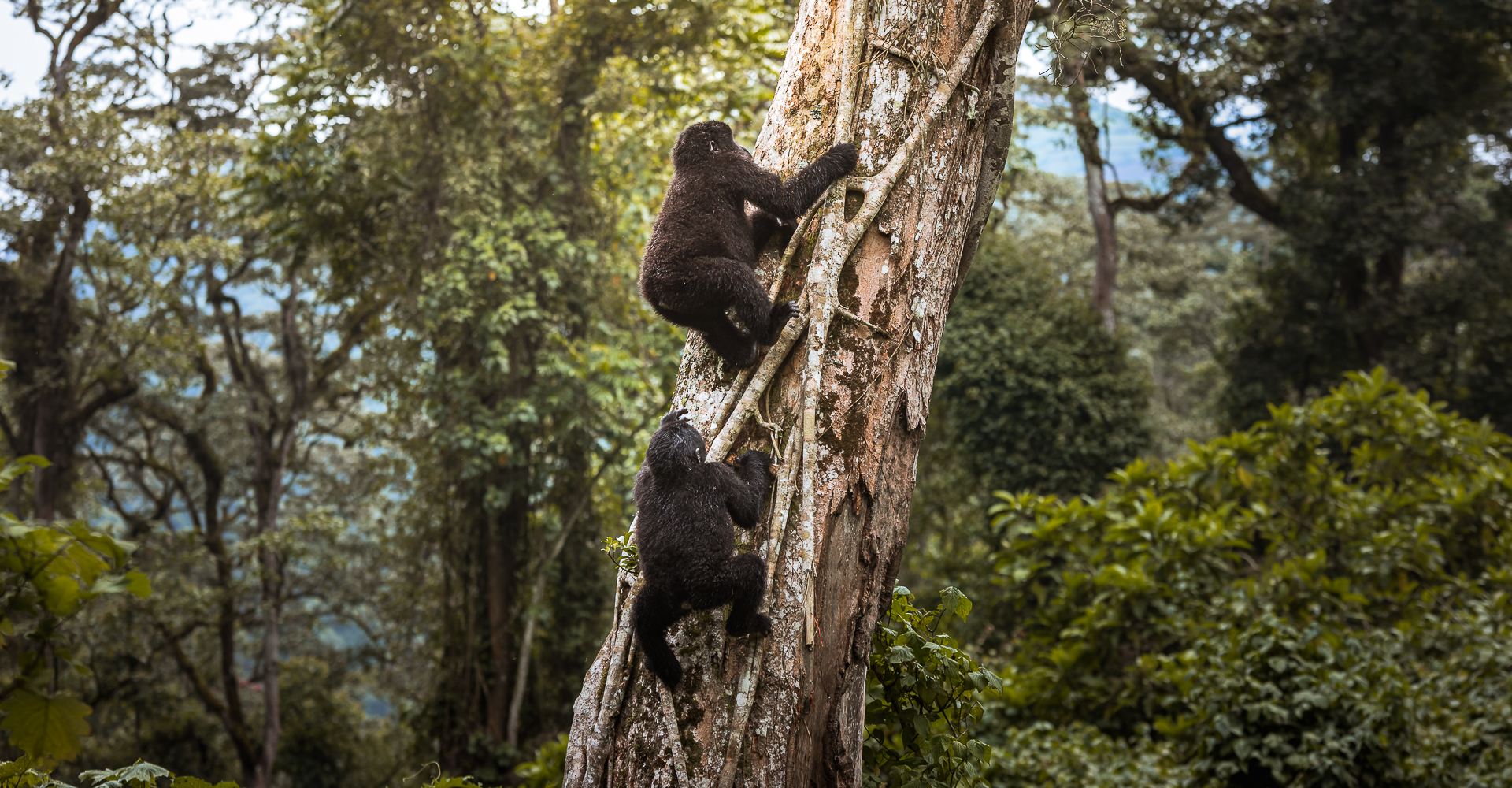 Uganda Travel, Gorilla Safari