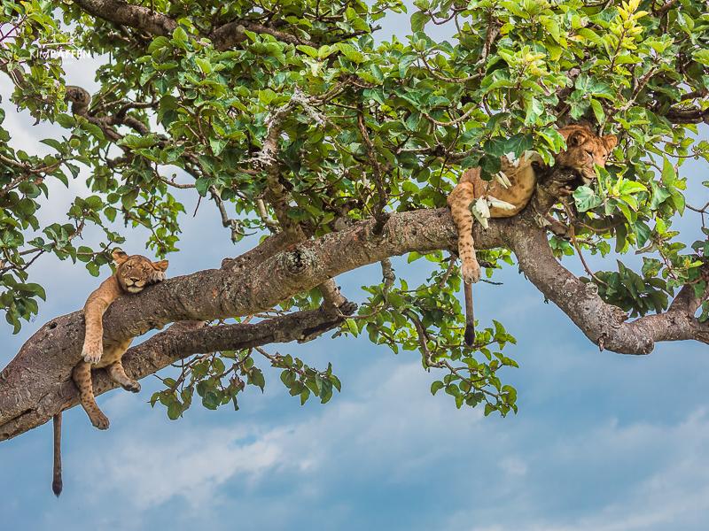 Tree Climbing Lions in Ishasha, Uganda