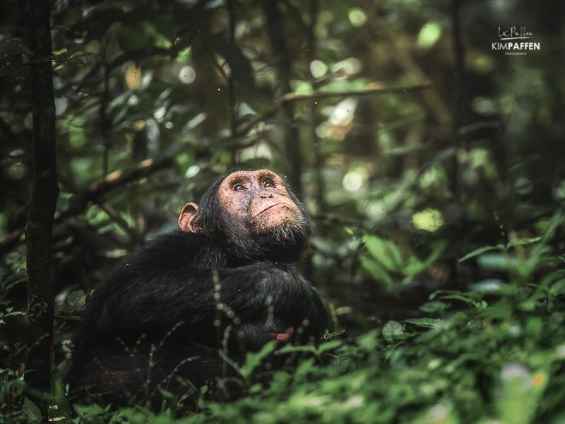 Chimpanzee Trekking Kibale Forest National Park Uganda