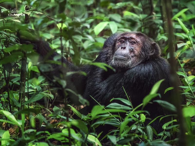Chimpanzee in Kibale Forest Uganda