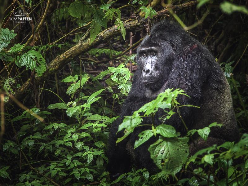 Silverback Mountain Gorilla Trekking in Bwindi Impenetrable Forest Uganda