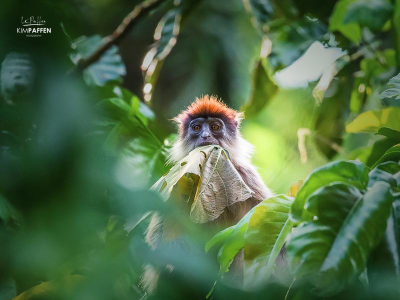 Red Colobus Monkey in Kibale Forest National Park Uganda