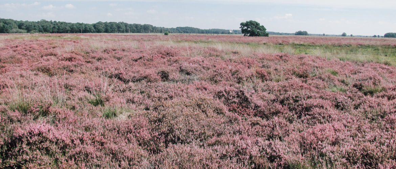 Wandelroutes langs de mooiste heidevelden in Drenthe