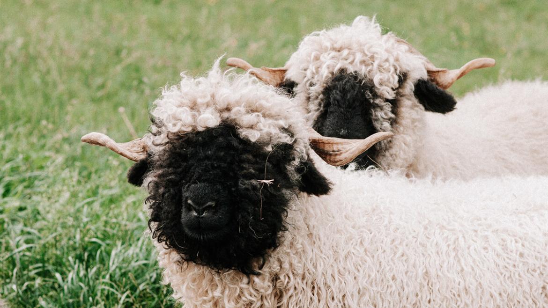 is-wol-duurzaam