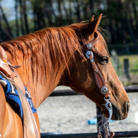 Quarter naar osteopaat voor paarden