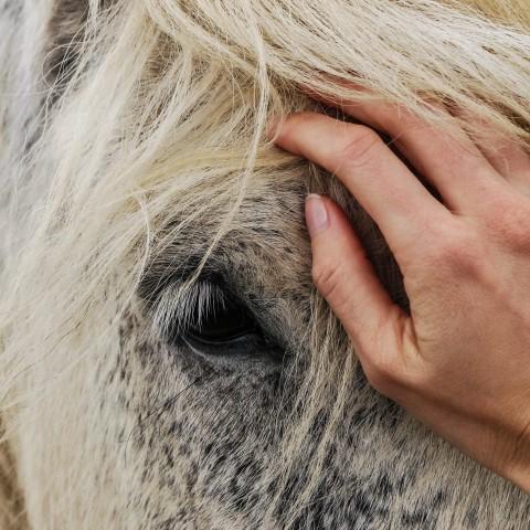 Hoofd van wit paard met hand