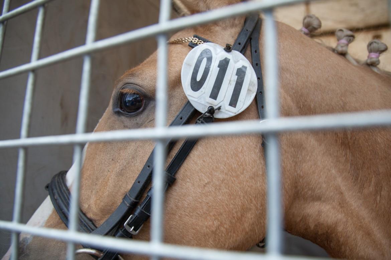 Gestresseerd paard achter tralies