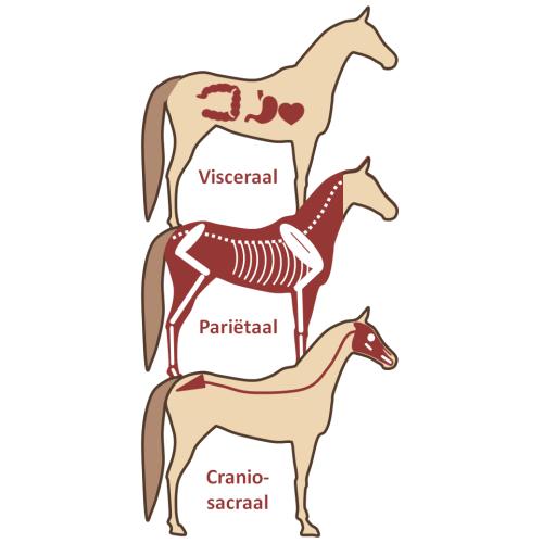 Schematische representatie van het viscerale-, pariëtale- en cranio-sacrale systeem