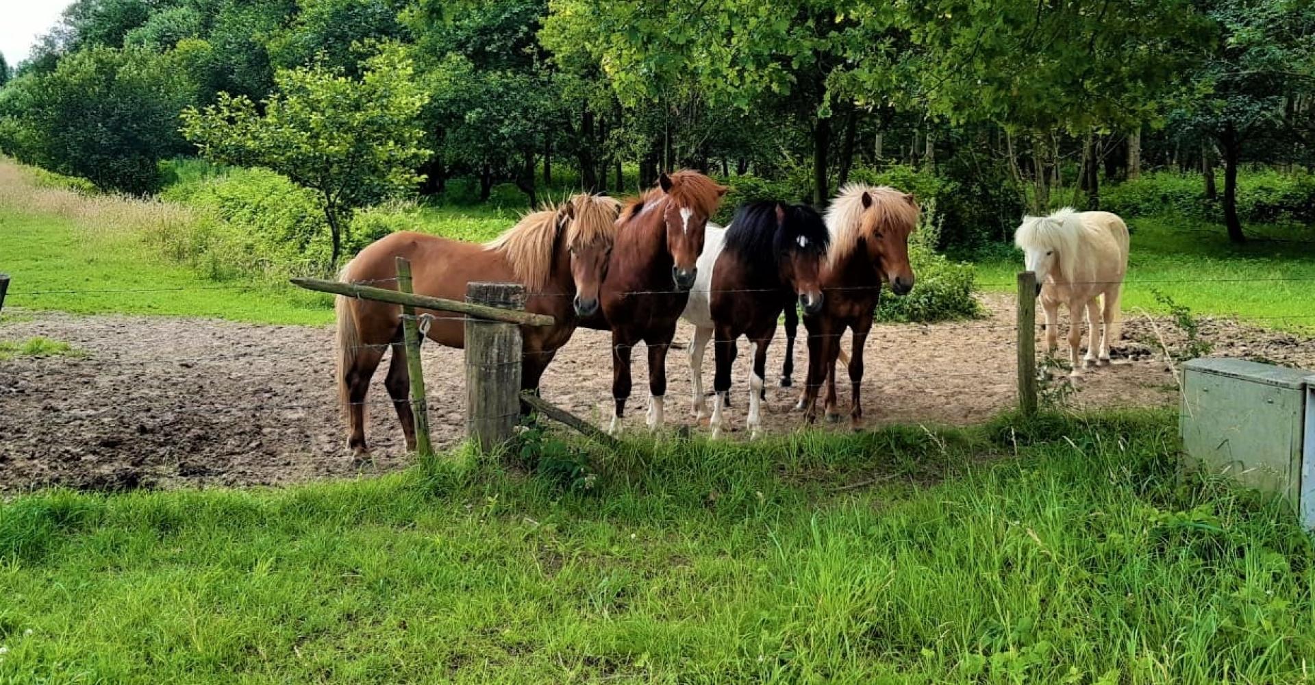 IJslandse paarden in wei