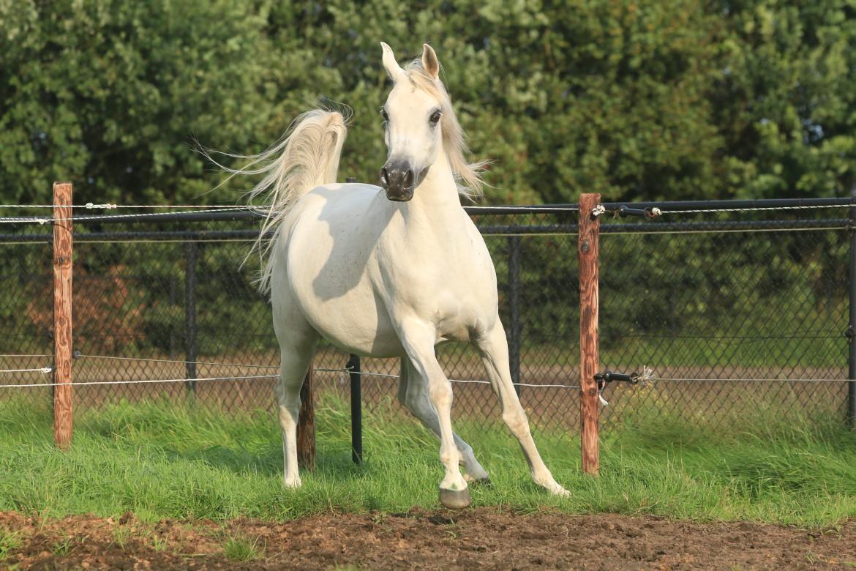 Vrolijk wit paard in de wei