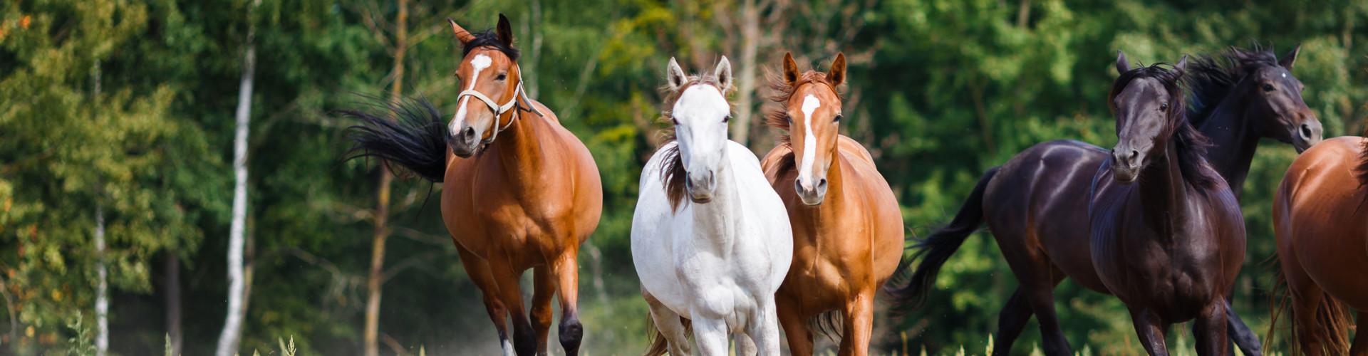 Kudde paarden rennend in de wei