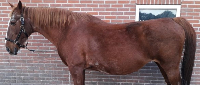 Verminous arteritis (Wormaneurysma): Relatief onbekend gevaar voor je paard