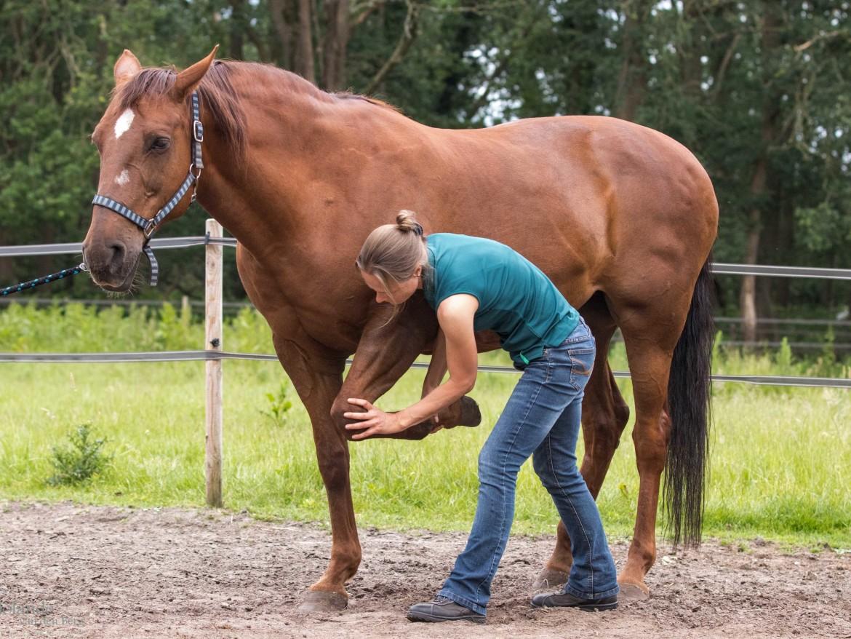Paardenosteopaat Mariël Schrijvers onderzoek het carpaal gewricht van een paard
