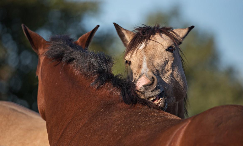 Twee paarden die elkaar aan het groomen zijn