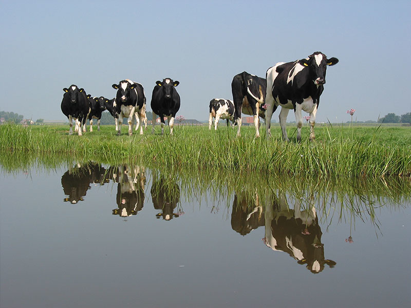 Koeien langs de vaarroute | Partyboot De Koperen Hoorn