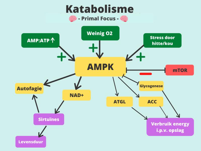 Autofagie AMPK